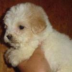 divinos-cachorritos-maltesitos-maltipoo-maltes-mexicano_MLM-O-75154988_4590-1