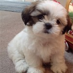 shihtzu_brown
