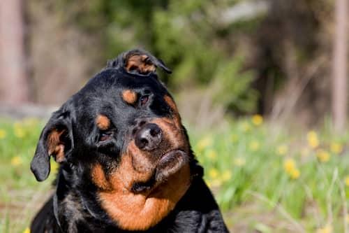 Rottweiler girando a cabeça