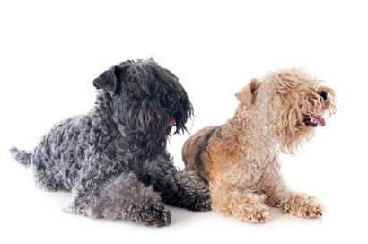 dois cães adultos