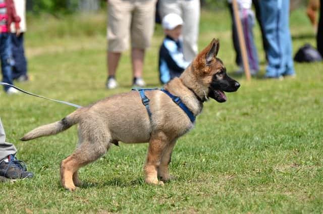filhote de pastor alemão