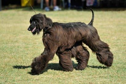 grande cachorro preto