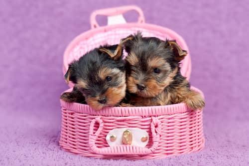 Nomes para cachorros pequenos yorkshire terrier