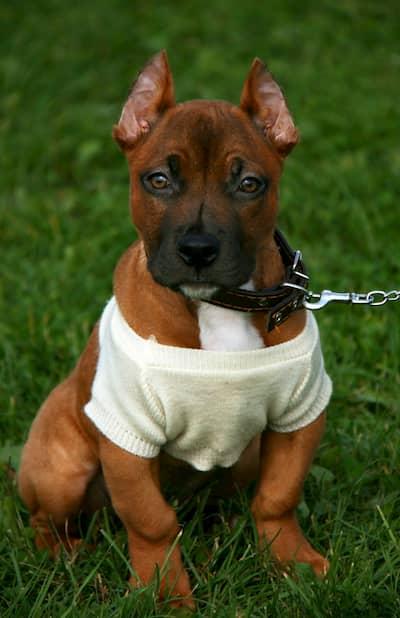 Image cachorro pitbull