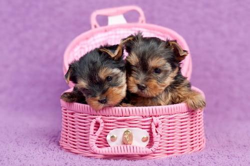 Pequenos filhotes de yorkshire