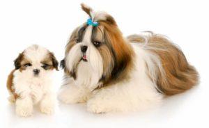 Mãe de Shih Tzu com seu filhote de cachorro