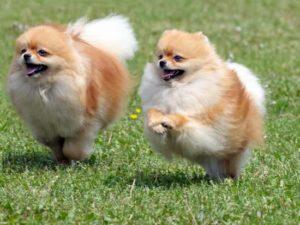 dois pomeranian correndo no parque