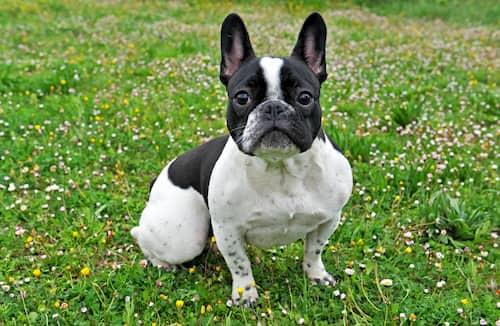 nomes cachorros bulldog frances