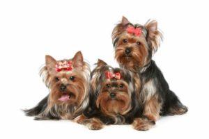 três, adulto, yorkshire terrier, cachorros