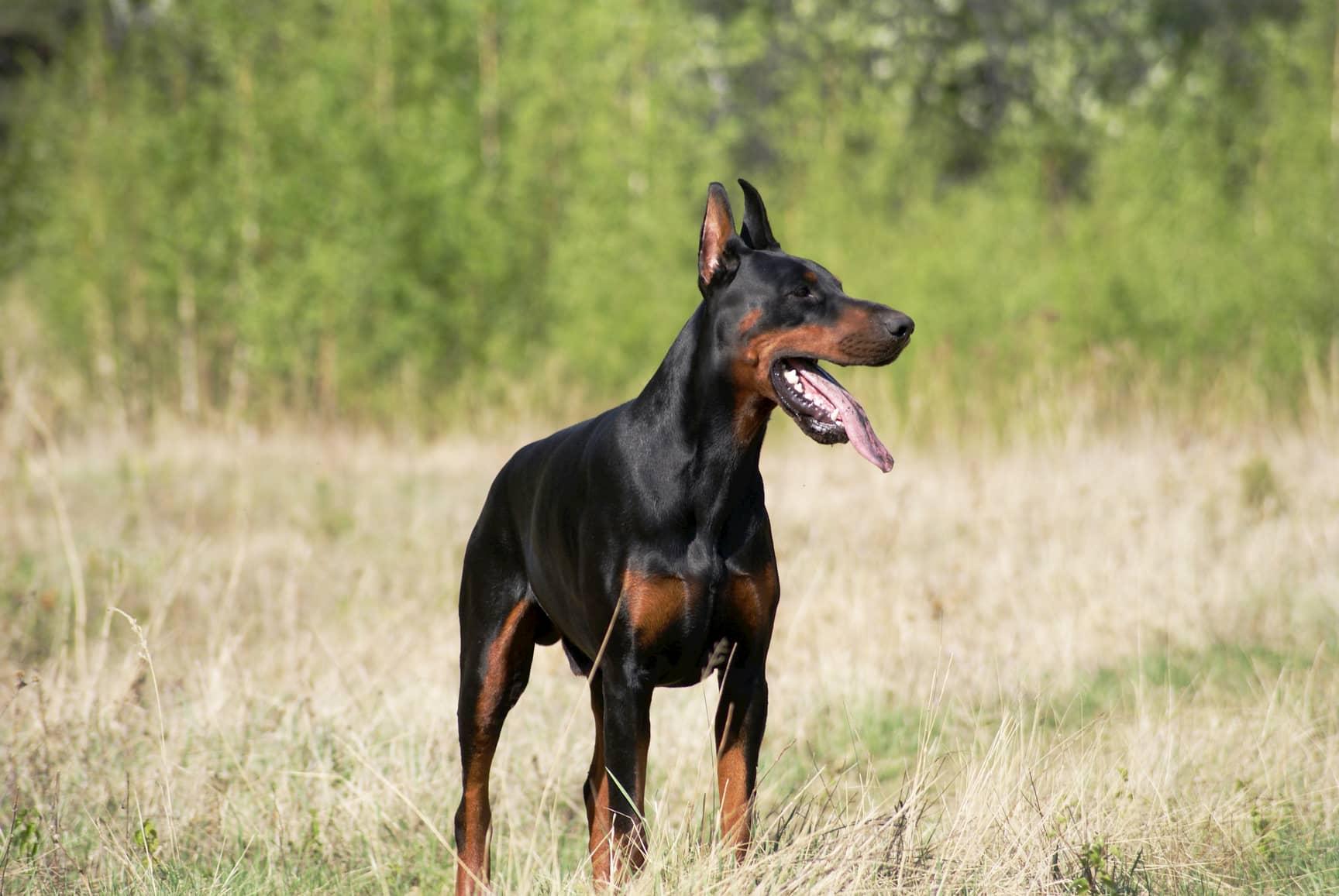 cão macho doberman com 2 anos
