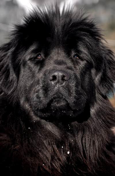 cachorro grande peludo preto