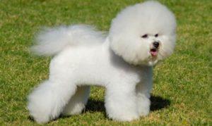 cachorro-peludo-branco