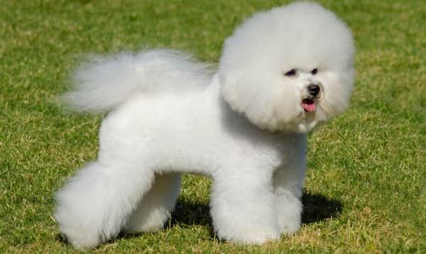 cachorro peludo branco