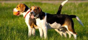 nomes de caçadores de beagle