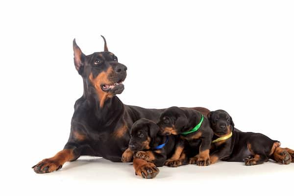 nomes para cachorros doberman