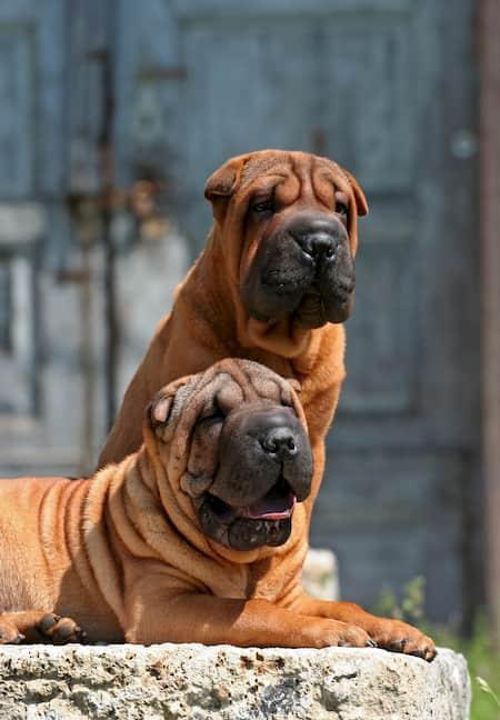 shar pei cachorros fortes