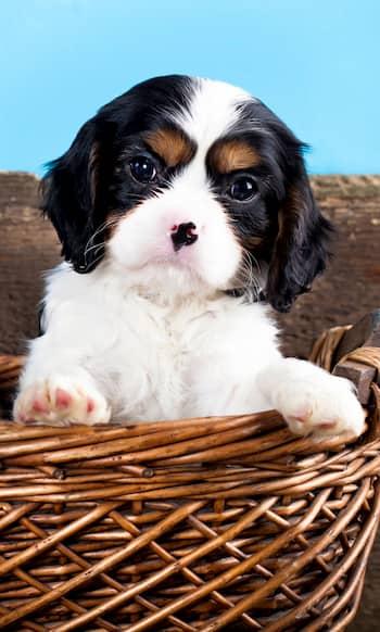 filhote de cachorro manchado marrom