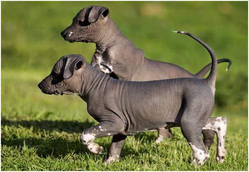 Filhotes de cachorro sem pêlos mexicanos