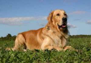 Nomes para cachorros da raça golden retriever
