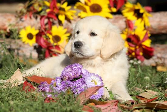 filhote de cachorro dourado