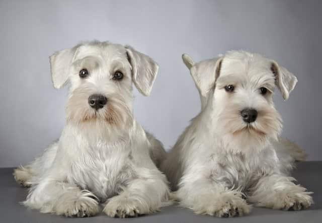dois cães schnauzer machos e fêmeas