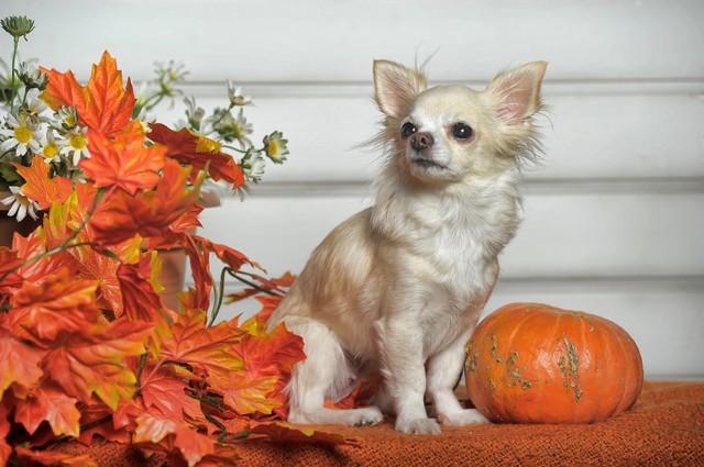 Chihuahua com dois anos de idade, branca e marrom