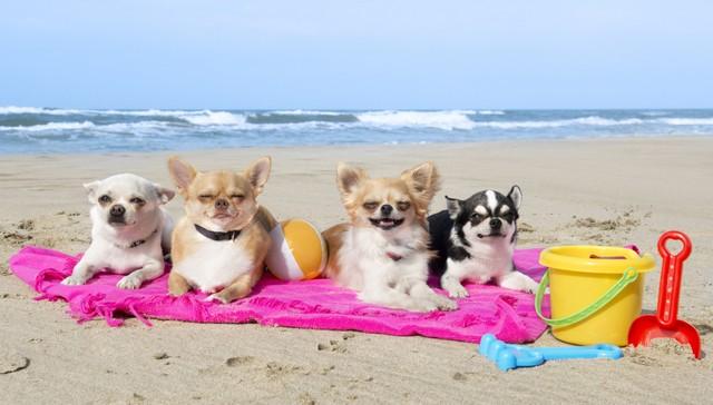 cães chihuahua deitado na praia