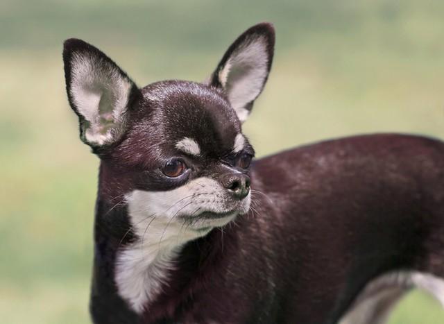 nomes para cachorros chihuahua