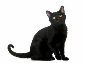 gato preto macho