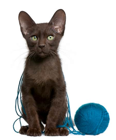 gato cor de chocolate na inglaterra