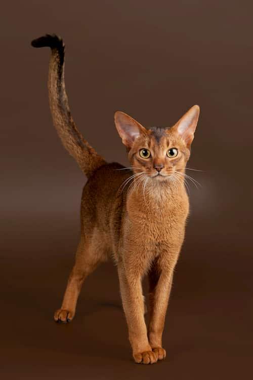 gato de raça abissínio laranja