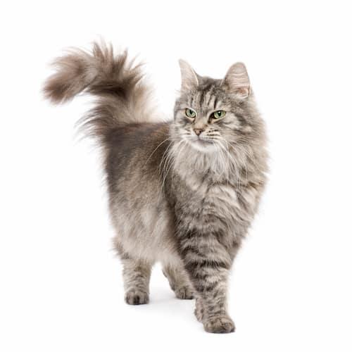 Gato de raça siberiana