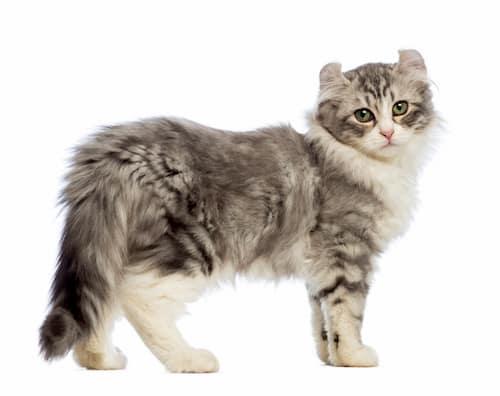gato cachorrinho cinza e prata